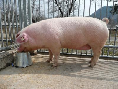 肉畜科(豚) - 福島県ホームページ